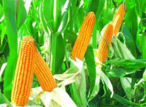 李龙飞:新玉米对猪的危害及注意事项