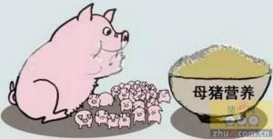 怀孕母猪能实行一餐饲喂吗?