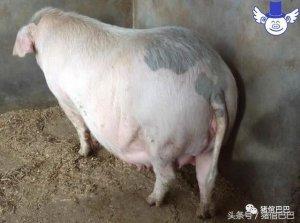 母猪不孕也有可能跟你的喂食方法有关,这些情况要避免!