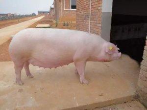 想要母猪1窝生14头以上,该怎么养?