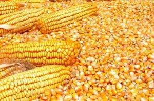 注意!玉米价格再降20元!告诉你啥时候能