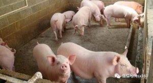 养猪场管理6大妙招,据说聪明的养猪人都在用!