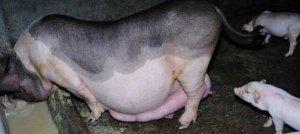 母猪配种很繁琐?按照这个来,一次就中!