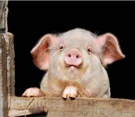 应该给猪喂干粉料、湿拌料还是颗粒料?