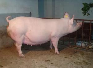 【分享】孕期母猪五个阶段的繁殖疾病,你了解吗?