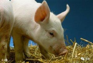 冷空气来生猪价格会上涨吗?猪价必然上涨,只是何时反弹?