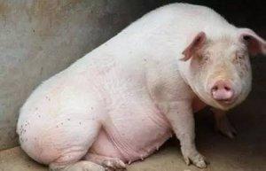 母猪假怀孕也是病,怎样治疗才管用?