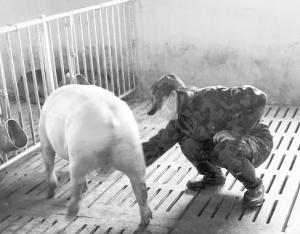 奋战在进境种猪隔离场的女兽医