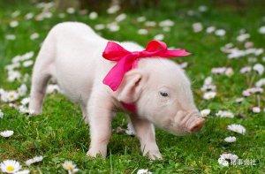 仔猪肠道重要性及营养靶点