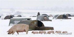 """猪业""""寒冬""""将至,温氏、牧原、雏鹰农牧"""