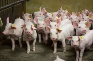 断奶仔猪混群饲养管理9大注意事项