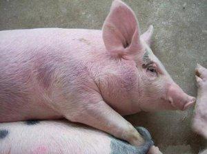 猪耳朵、颈、腿内侧、背、肚子都发紫了,