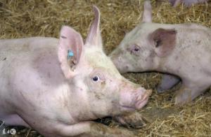 体温突然升高、呼吸困难,猪遇到这些问题