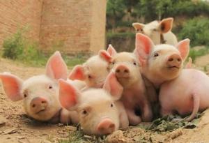 注意!我国学者分离发现又一种仔猪腹泻新