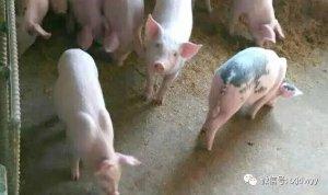 给猪打口蹄疫疫苗后出现应激,眼看就要死亡怎么办?