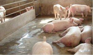 猪只混群带来的危害及解决方案
