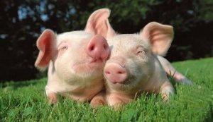 养猪散户向规模化发展?一句话点醒养猪人!