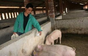 秋季养猪七注意,为越冬年关卖个好价做准备