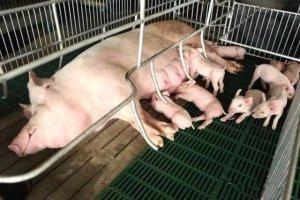 手把手教你,提高能繁母猪生产能力