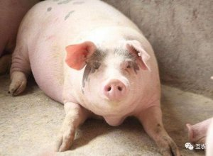 10月底生猪价格将迎转折,猪价格大涨靠谱吗?猪价寒冬来了吗?