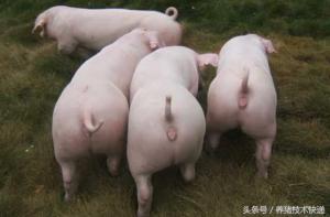 养猪生产中如何使用同期发情技术?