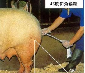 农民学养猪,正确判断输精时间的方法