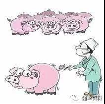 你可晓得!猪接种疫苗的注意事项!