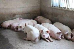 警惕,秋季肉猪催肥五大误区!小心越催越瘦!