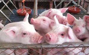 生猪出栏均价震荡调整 多省猪价继续走低