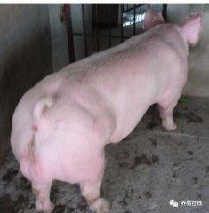 """警惕母猪""""季节性不孕""""!"""