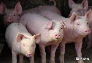 母猪产程过长原来可以这么办!