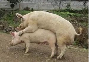 给猪配种的6个误区!不看后悔