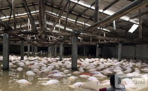 越南暴雨洪灾已致54人丧生 养猪场死猪一片