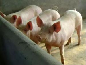【技术】秋冬季节如何预防新购仔猪不生病