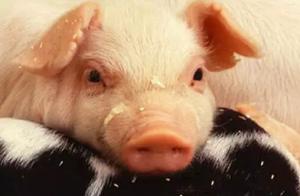 如何简易判断出各种猪病?建议收藏!!