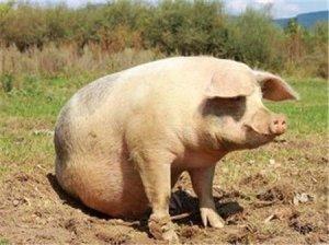 天气冷了!猪舍温度一定要控好