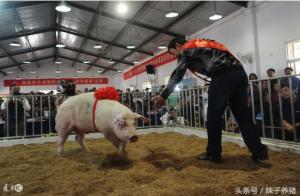 猪场技术,法系猪走红,价格涨4倍的背后