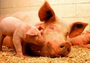 """猪""""蹄裂""""的背后还有哪些问题值得深思?"""