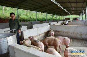 广西上思县那琴乡那通村创建生猪养殖专业