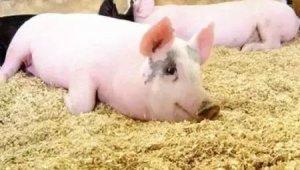 阴雨天,养猪人千万要注意这一点,不然后