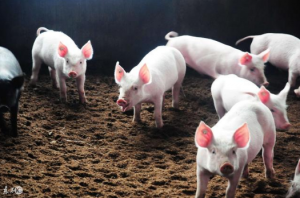 酒糟怎样才能投入养殖让动物健康生长?