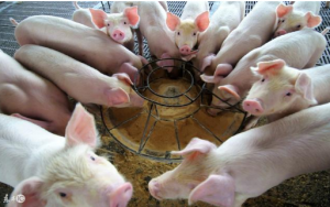 断奶仔猪发生腹泻如何进行防控
