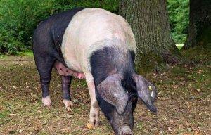 吃都吃不好、母猪下崽怎么给力?