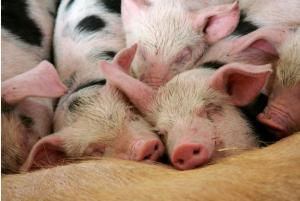 作为养猪人,这5条病猪、弱猪、残猪的处