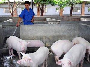 """有种猪病号称""""三不疾病"""",若不及时防治,死亡率超高!"""