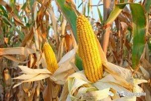 【政策】玉米补贴十问十答,这些规定你要知道!