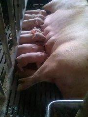 产床上的待产母猪怎样简单降温