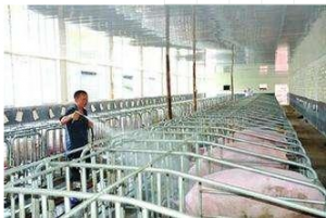 规模化猪场猪群流动的常见错误