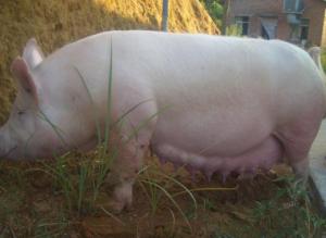 猪饲料的配比,猪吃饲料越多越好吗?