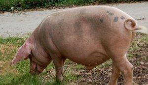 母猪有以下任何一种情况,那就等着赔钱吧